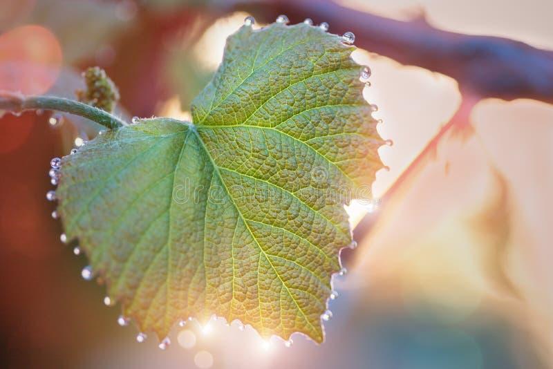 Hojas jovenes de uvas con descensos del rocío Salida del sol blurring imagenes de archivo