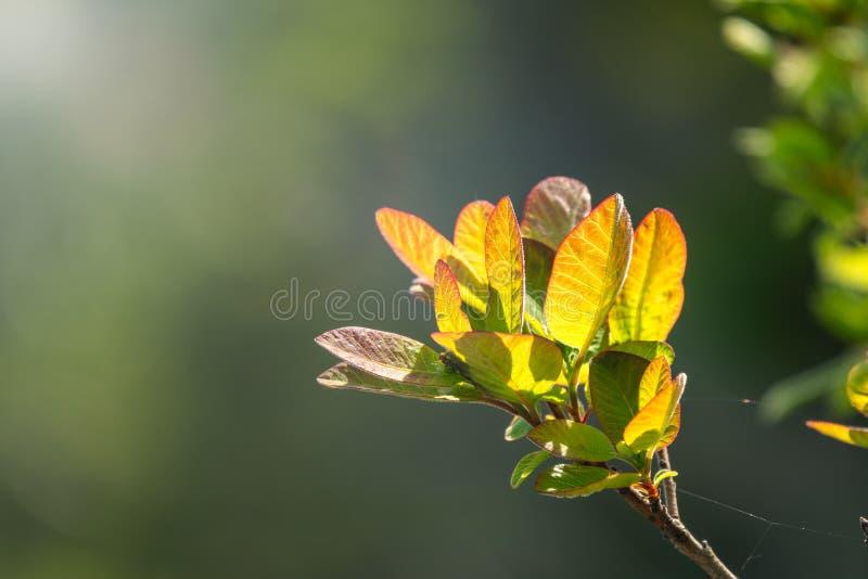 Hojas jovenes del verde teniendo en cuenta el sol poniente Colores del resorte foto de archivo