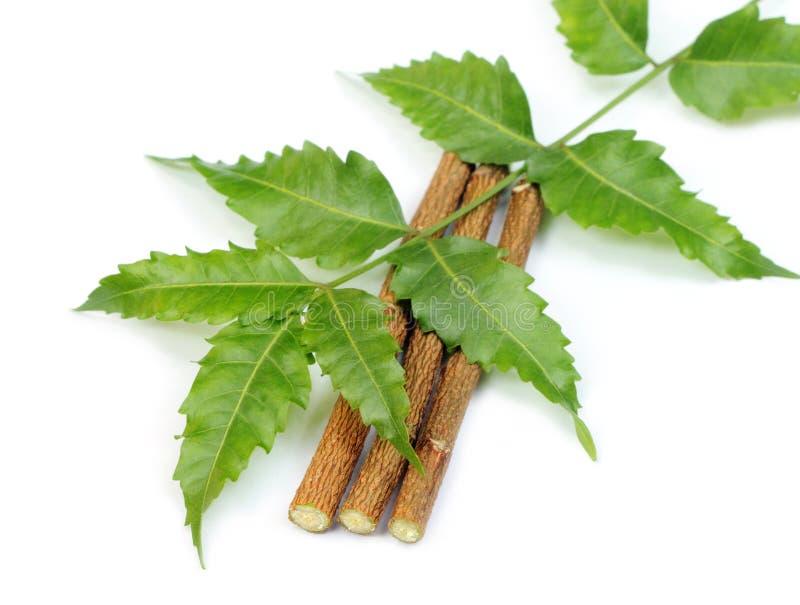 Hojas medicinales del neem con las ramitas imágenes de archivo libres de regalías