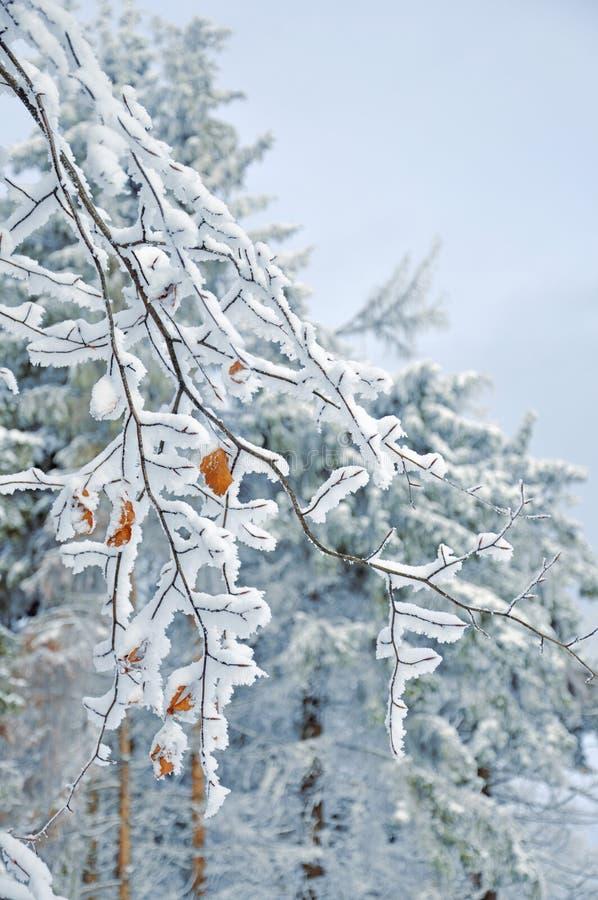 Hojas nevadas escarchadas imágenes de archivo libres de regalías