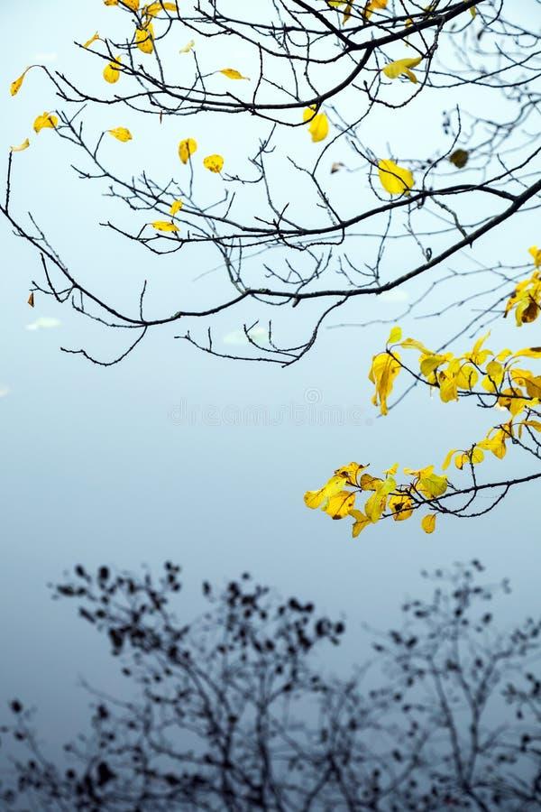 Hojas otoñales del amarillo en árboles costeros imagen de archivo