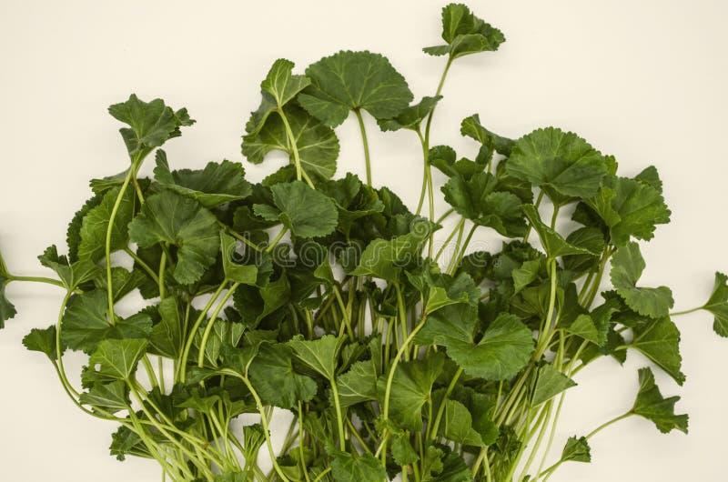 Hojas ovales blandas en el armenio temprano de la malva de la planta de la primavera de los troncos usado en medicina y comida fotografía de archivo