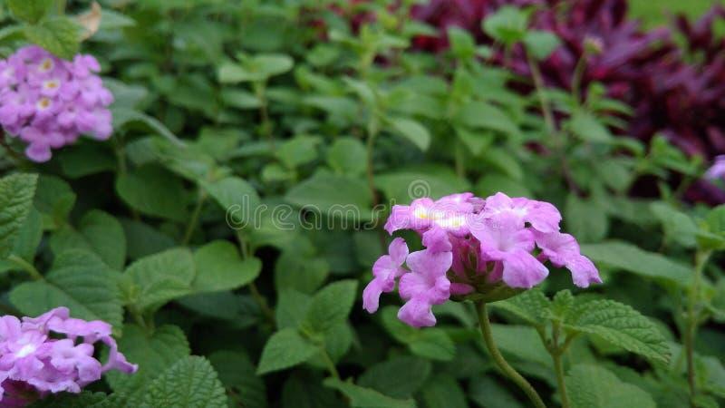 Hojas púrpuras de la flor y del verde imagen de archivo