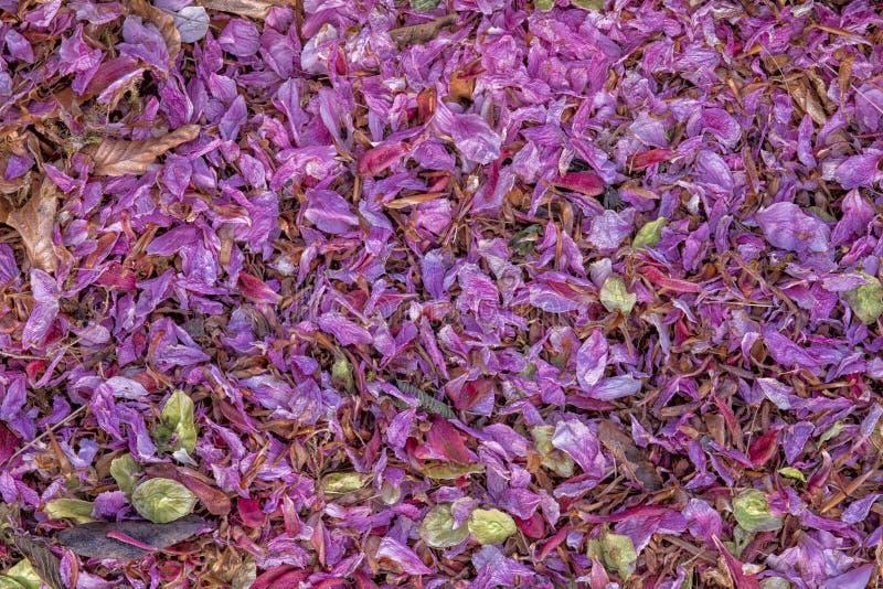 Hojas púrpuras de la vertiente del brezo cruz-con hojas foto de archivo libre de regalías