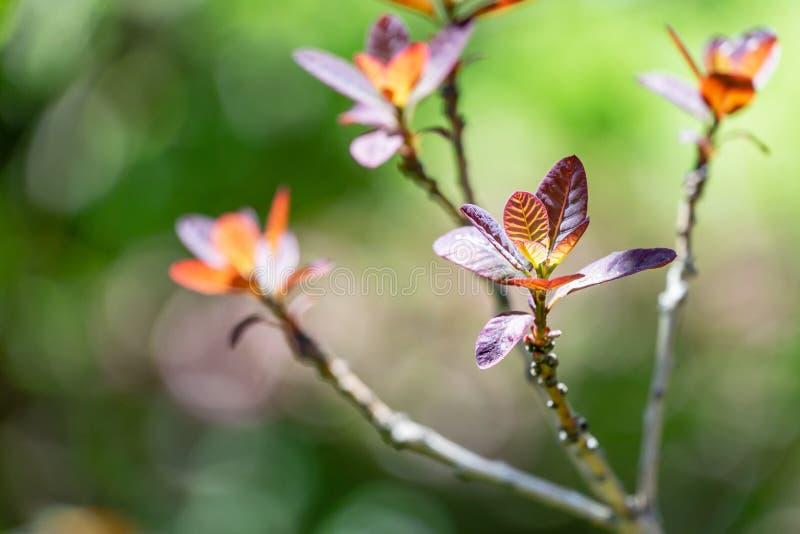 Hojas púrpuras jovenes del cotinus púrpura real del Rhus del coggygria del Cotinus, el smoketree europeo en bokeh verde fotos de archivo libres de regalías