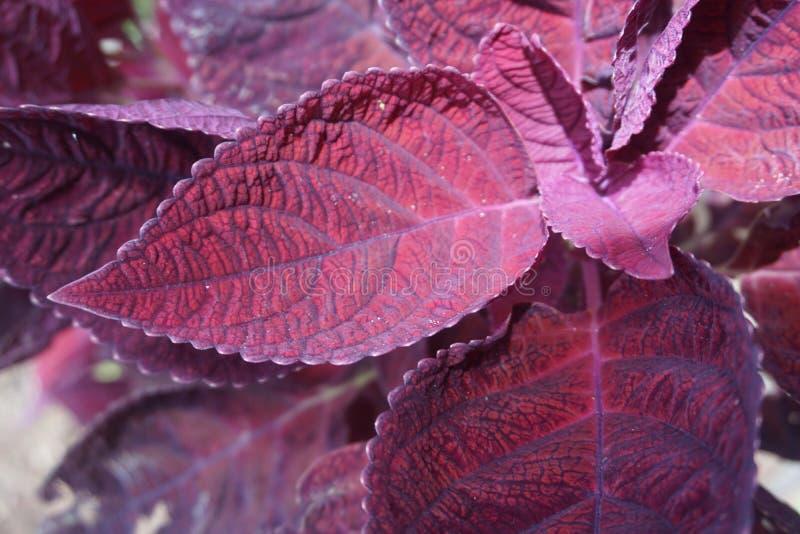 hojas púrpuras llamativas fotos de archivo