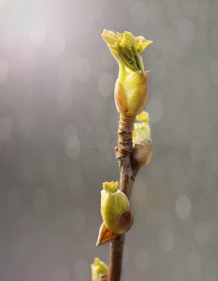 hojas Primavera-crecientes imagen de archivo libre de regalías