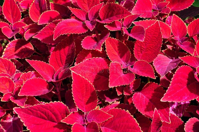 Hojas rojas coleus scutellarioides fotos de archivo libres de regalías