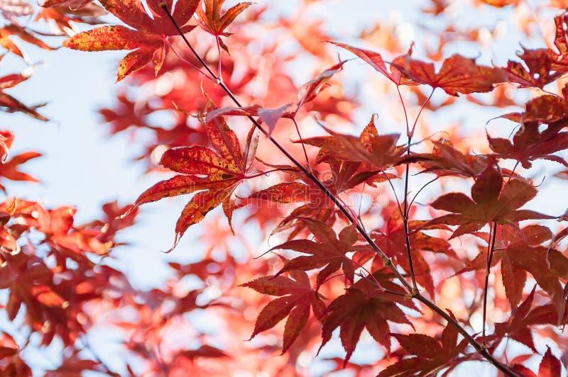 Hojas rojas coloridas en un fondo del cielo azul foto de archivo