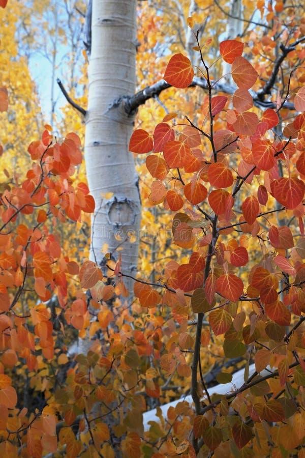 Hojas rojas de Aspen fotografía de archivo libre de regalías