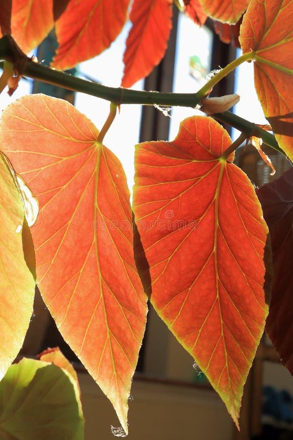 Hojas rojas de la begonia imágenes de archivo libres de regalías
