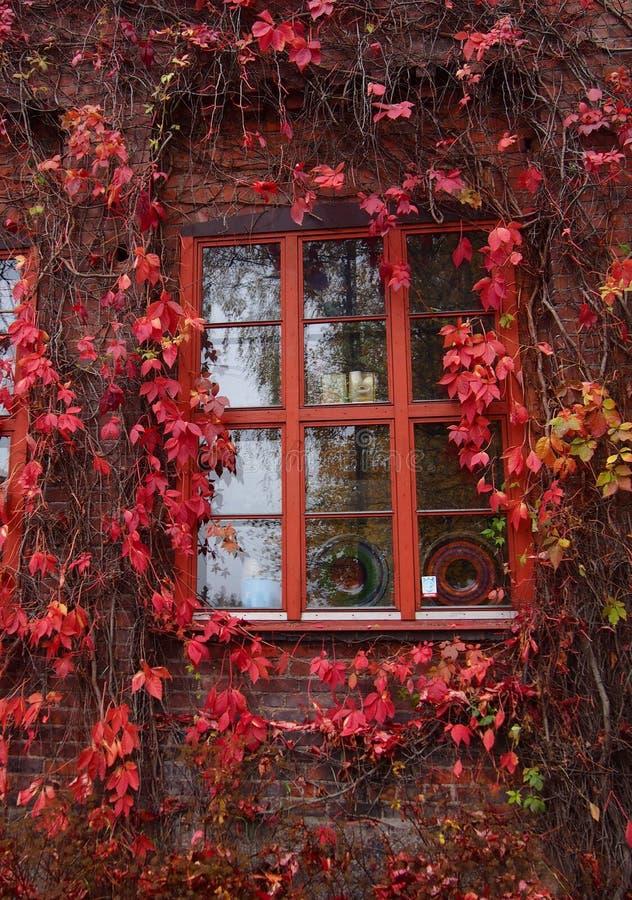 Hojas rojas de la hiedra alrededor de la ventana imagenes de archivo