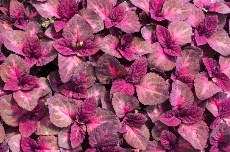 Hojas rojas de la planta del coleo imagen de archivo for Plantas de interior hojas rojas