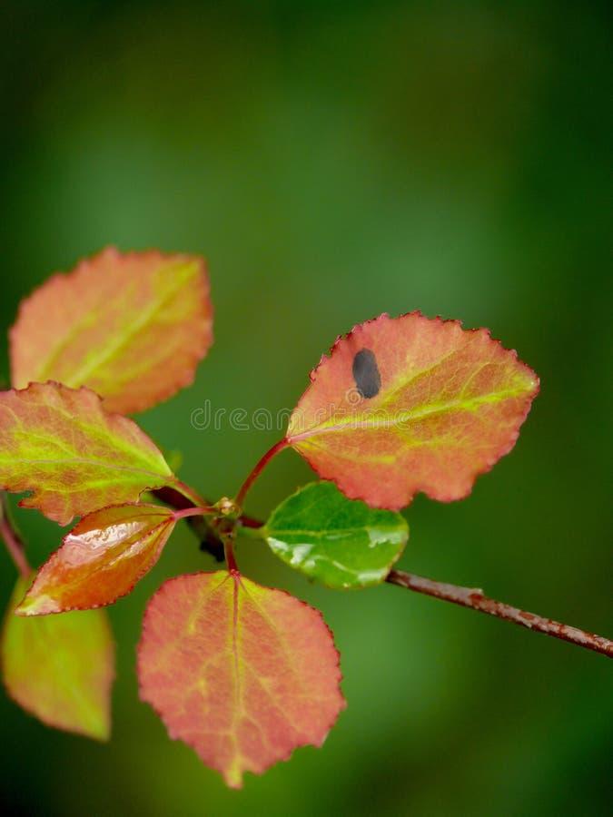 Hojas rojas de un álamo temblón. Verano. fotos de archivo