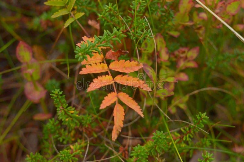 Hojas rojas de una ceniza de monta?a Rama de una ceniza de montaña con las hojas rojas Hojas de oto?o brillantes Hojas ashberry r fotografía de archivo libre de regalías