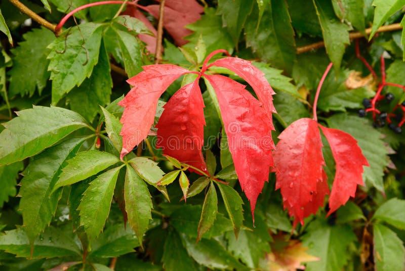 Hojas rojas de uvas silvestres en el jardín de otoño imagen de archivo libre de regalías
