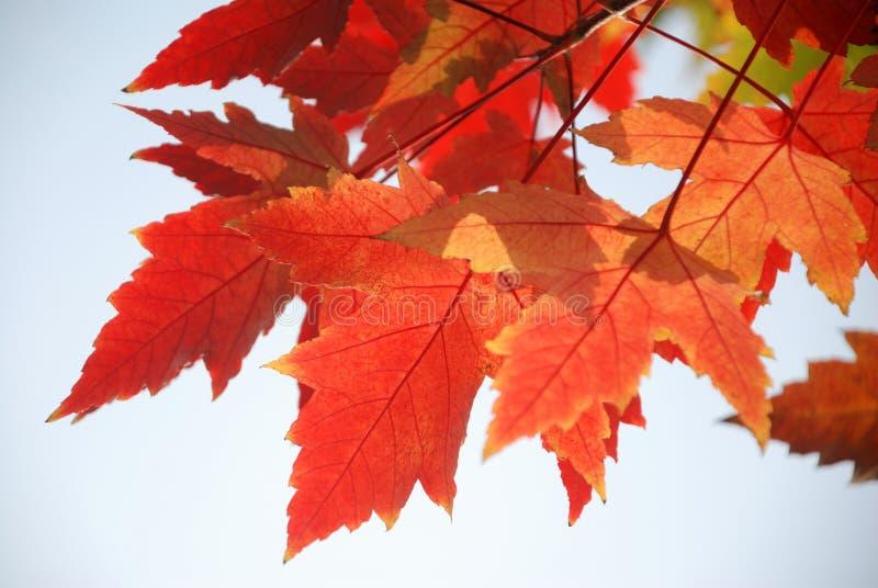 Hojas rojas del árbol plano fotos de archivo
