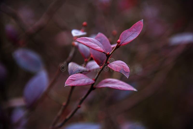 Hojas rojas del arándano en invierno fotos de archivo