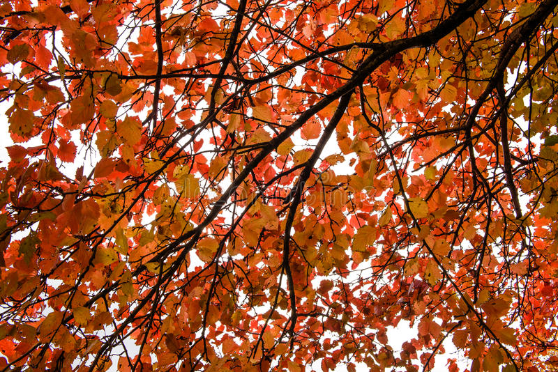 Hojas rojas del otoño del álamo temblón imagen de archivo libre de regalías