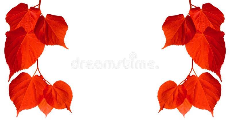 Hojas rojas del tilia del otoño imagen de archivo libre de regalías