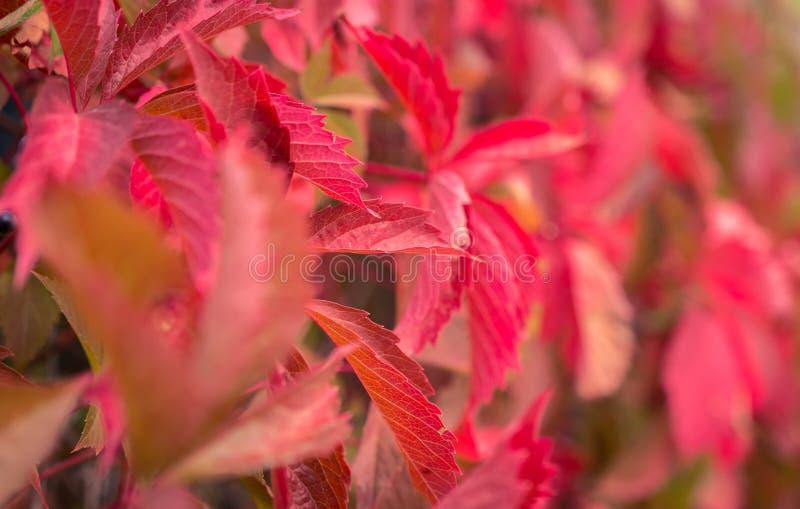 hojas rojas, hojas de otoño fotos de archivo libres de regalías