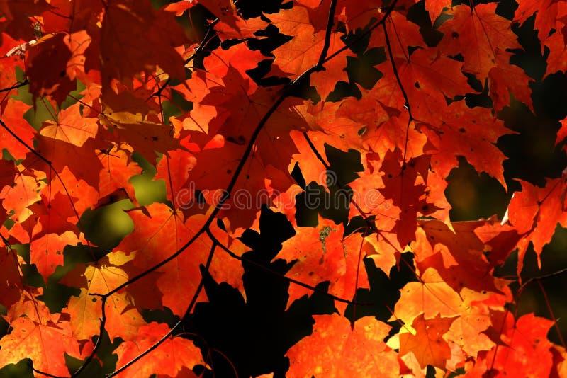 Hojas rojas vibrantes de la caída. fotos de archivo
