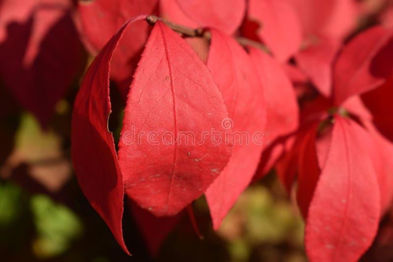 Hojas rojas vibrantes, en Boise Idaho fotos de archivo libres de regalías