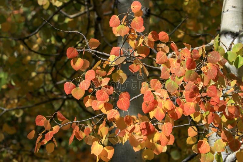 Hojas rojas y anaranjadas del álamo temblón fotos de archivo libres de regalías
