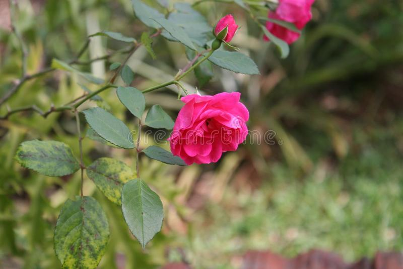 Hojas rosadas de la flor y del verde imagen de archivo