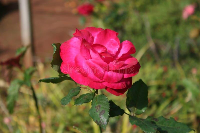 Hojas rosadas de la flor y del verde fotos de archivo libres de regalías