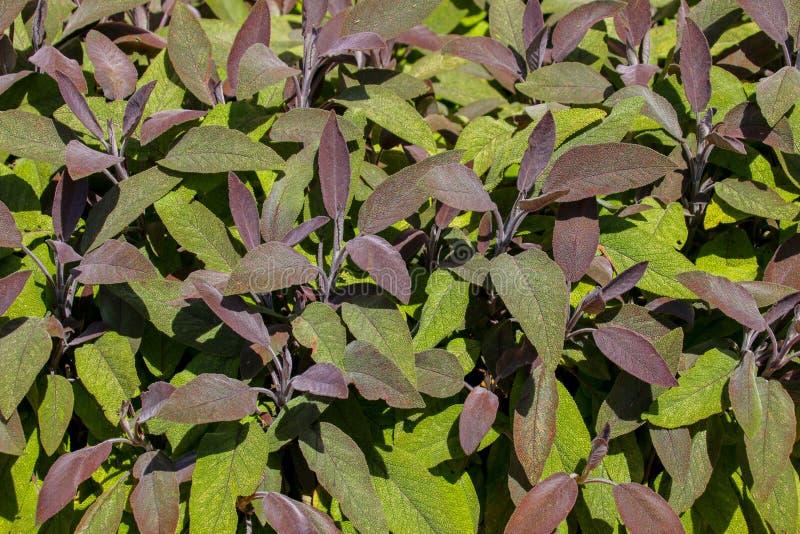 Hojas sabias verdes y púrpuras cerca para arriba imagen de archivo libre de regalías