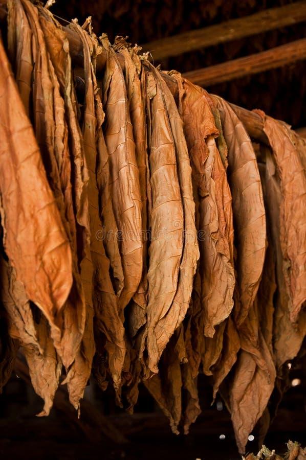 Hojas secadas del tabaco fotografía de archivo libre de regalías
