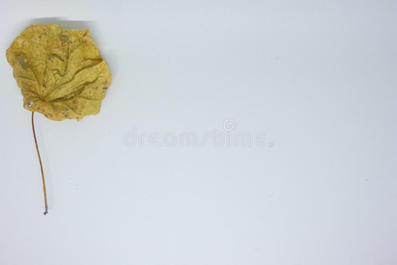 Hojas secadas fotografiadas con un fondo blanco, foto de archivo libre de regalías
