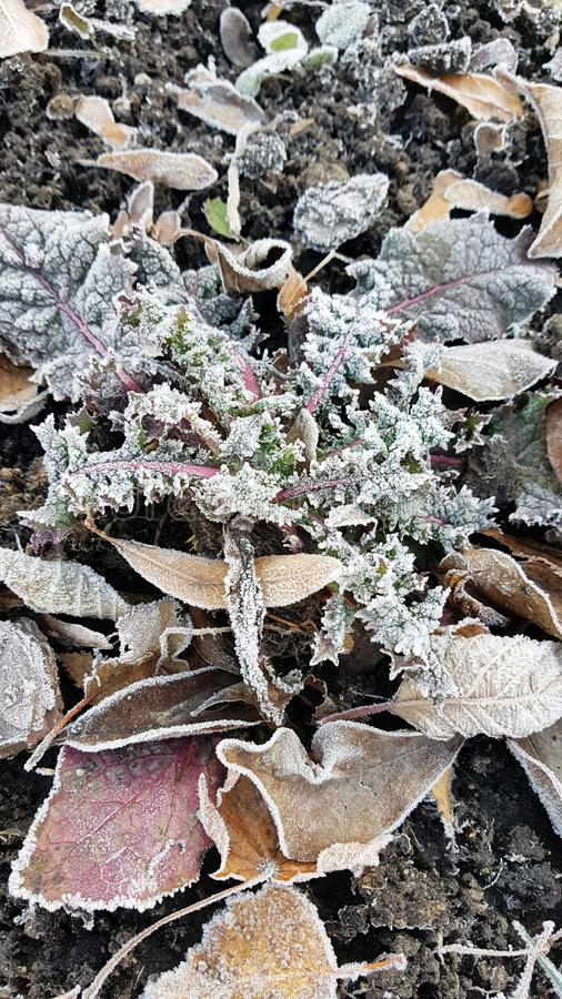 Hojas secas caidas con la helada blanca, fondo natural de la opini?n superior del extracto Follaje congelado en la tierra ?ltimo  fotos de archivo