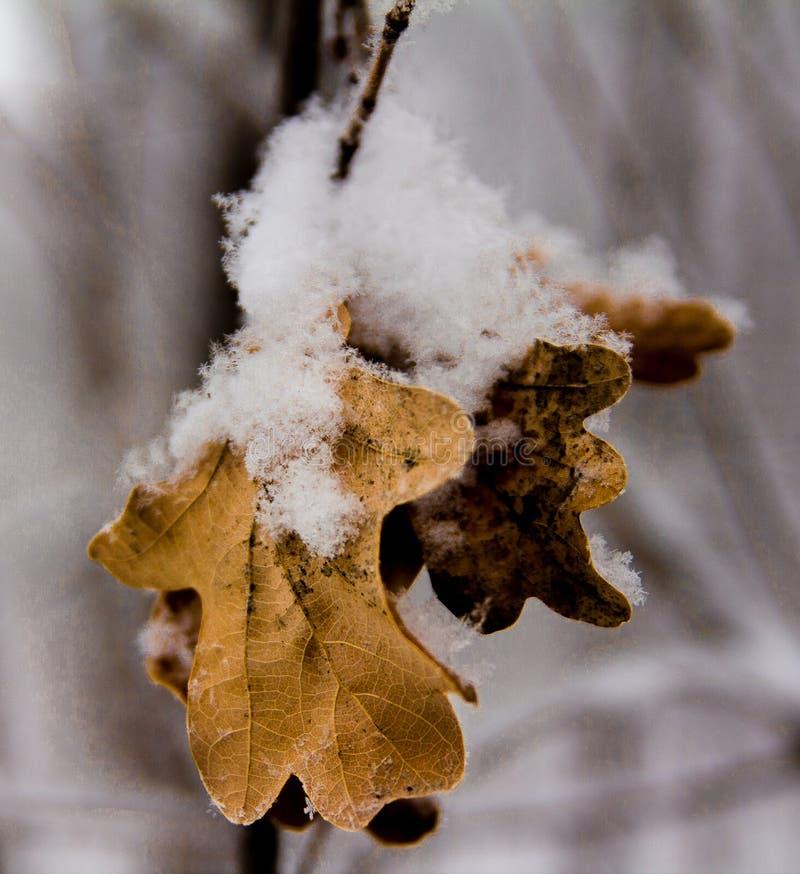Hojas secas congeladas del roble cubiertas con nieve mullida foto de archivo libre de regalías