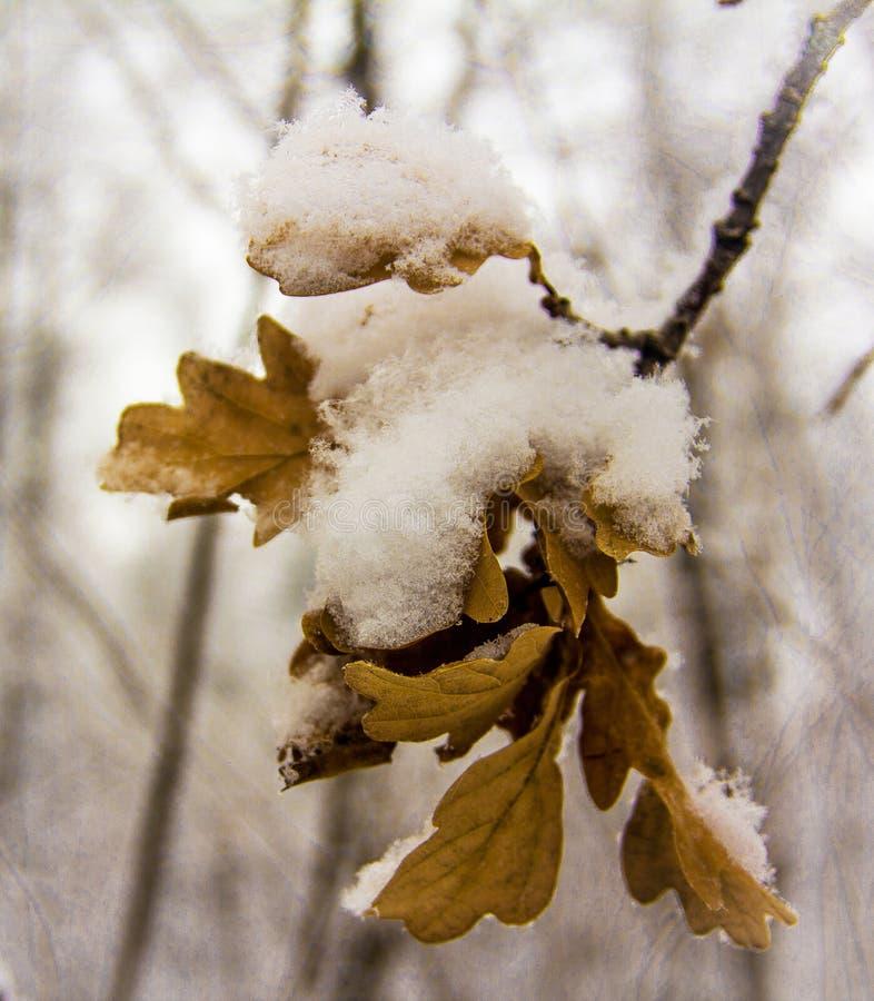 Hojas secas congeladas del roble cubiertas con nieve mullida fotografía de archivo libre de regalías