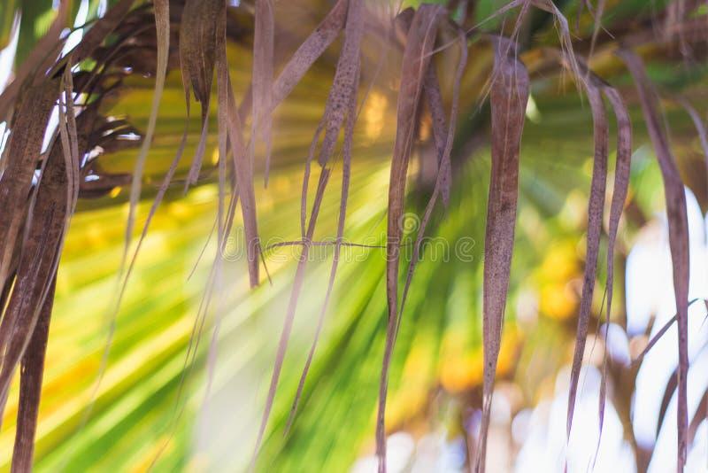Hojas secas de la palmera tropical en un fondo coloreado Naturaleza exótica wallpaper fotografía de archivo libre de regalías