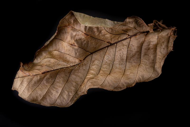 Hojas secas del árbol de nuez Una hoja secada de un árbol que crece en un jardín foto de archivo libre de regalías