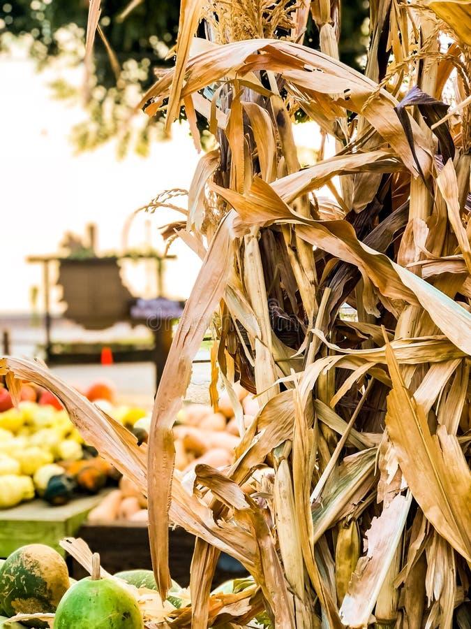 Hojas secas del maíz en el remiendo de la calabaza fotos de archivo