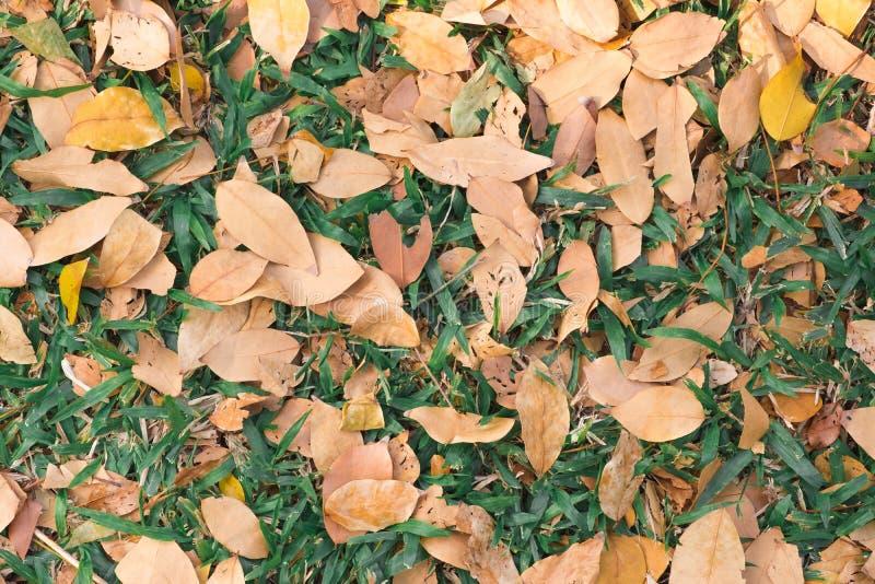Hojas secas en backgrond de la textura de la hierba verde Temporada de otoño foto de archivo