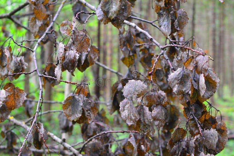 Hojas secas en una rama de un árbol del otoño foto de archivo libre de regalías