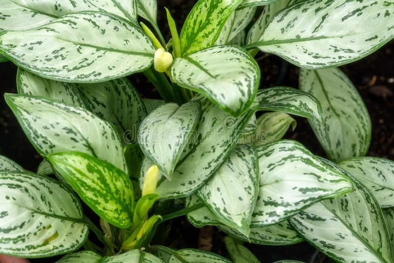 Hojas subtropicales de la planta en casa verde botánica fotos de archivo