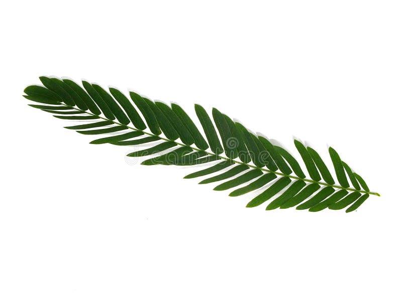 Hojas, tamarindo de las hojas, cocinando la parte aislada del fondo blanco fotografía de archivo libre de regalías
