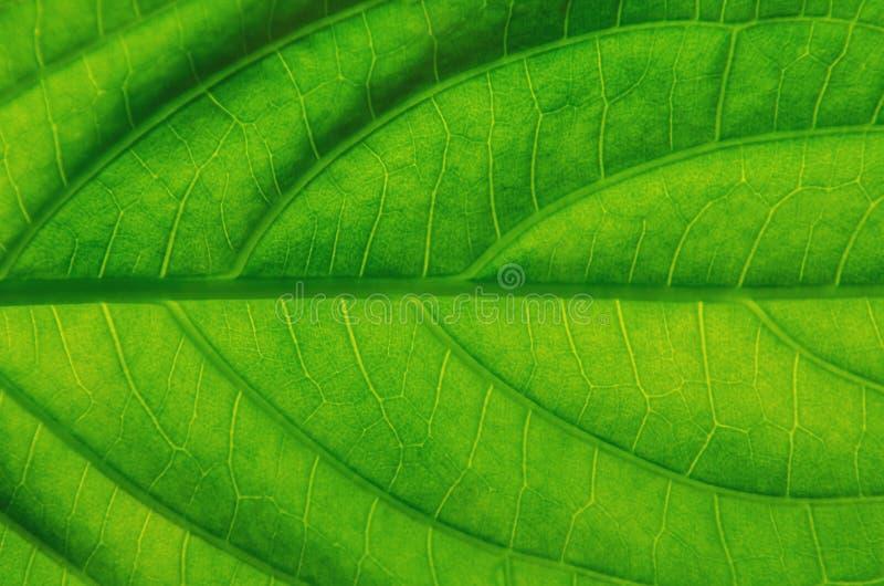 Hojas textura del verde y fibra de la hoja, fondo por el detalle del gre imagenes de archivo