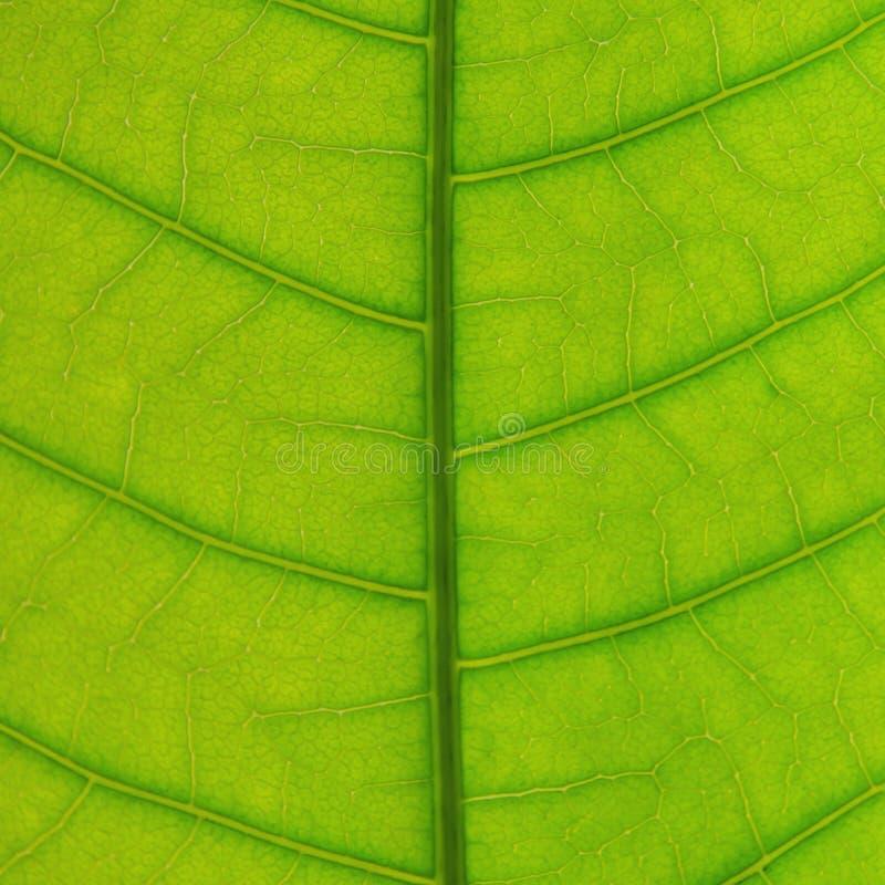 Hojas textura del verde y fibra de la hoja, fondo por el detalle del gre foto de archivo