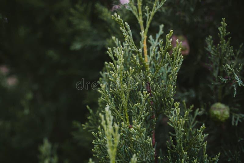 Hojas textura y fondo del árbol de Cypress Ciérrese encima de la vista de las hojas del verde del ciprés imagenes de archivo