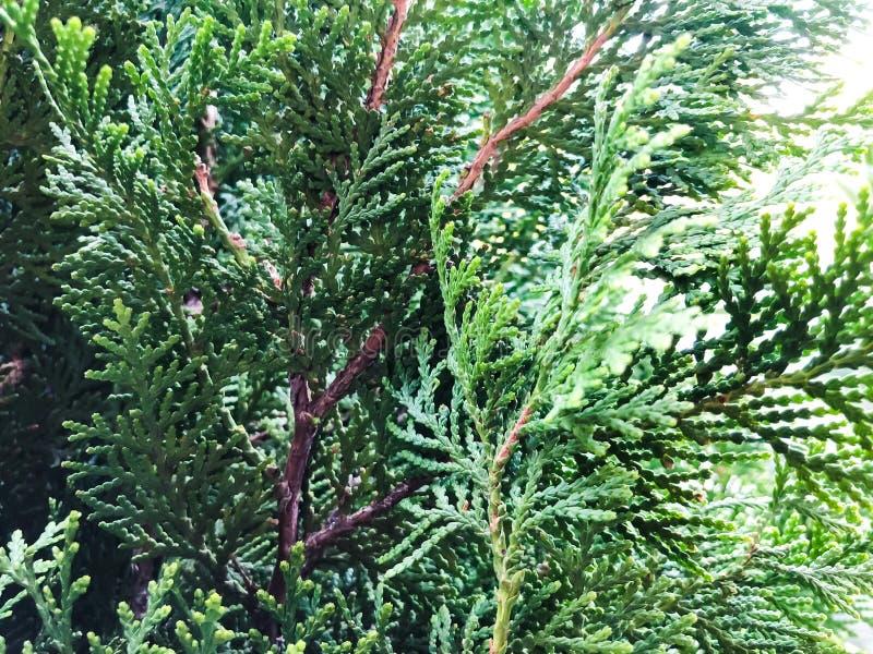 Hojas textura y fondo del árbol de Cypress Ciérrese encima de la vista de las hojas del verde del ciprés imagen de archivo
