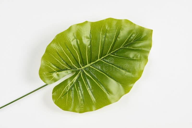 Hojas tropicales botánicas aisladas en un fondo blanco fotografía de archivo