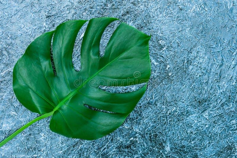 Hojas tropicales de Monstera en un fondo gris Disposición creativa de hojas tropicales reales en un fondo gris Concepto del veran fotos de archivo libres de regalías