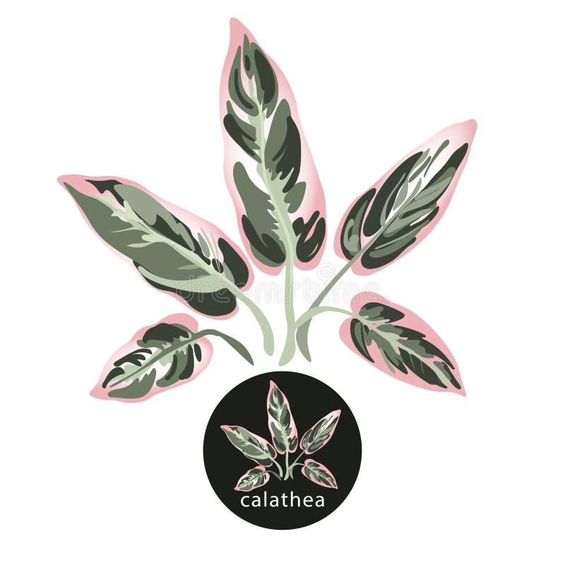 Hojas tropicales del calathea Rama Verde-rosada exótica Vector aislado en el fondo blanco ilustración del vector